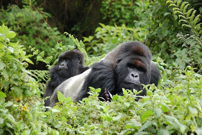 3 Days 2 Nights Gorilla Tracking Bwindi Impenertrable National Park