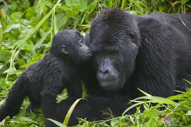 Gorilla Trekking Experience in Bwindi Impenetrable National Park photo 7