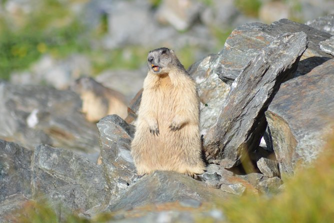 Marmots on the side of the road