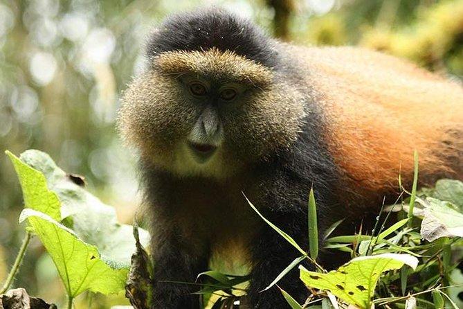 2 Days Rwanda Safari with Golden Monkeys trekking
