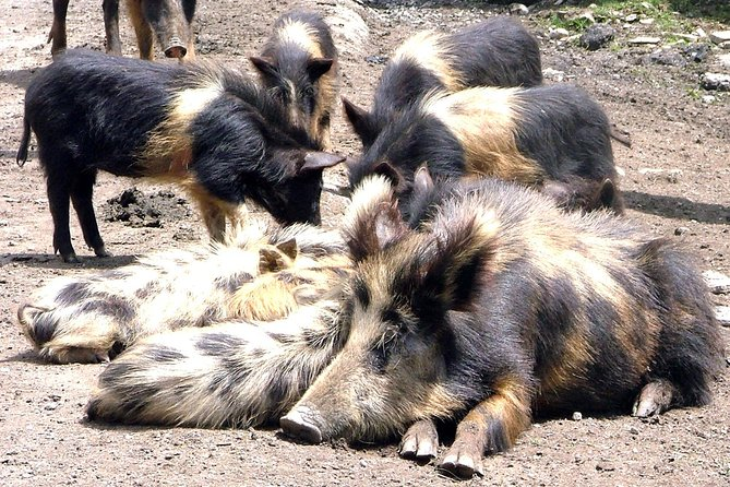 Pig family Ushguli Village, Svaneti, Georgia