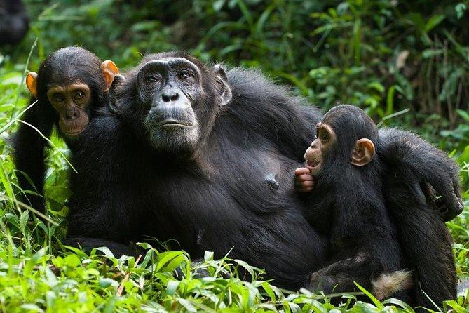3 Days Kibale National Park Chimpanzee Tracking