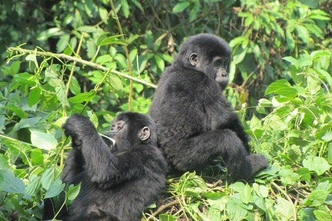 3 Day Kalinzu Forest Chimpanzee Trek and Gorilla Trekking photo 4