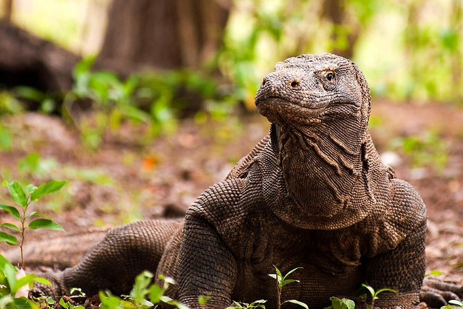 Flores: Four Islands Adventure for Komodo Dragons & Sunset Sailing (Labuan Bajo)
