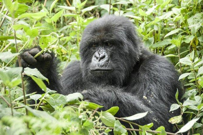 5 days gorillas and chimpanzee tracking