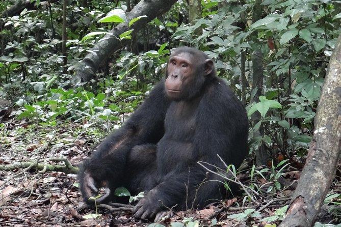 1 day chimpanzee tracking in budongo forest and kaniyo pabidi