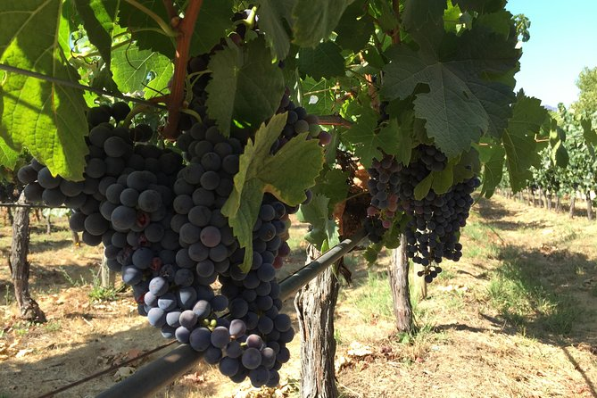 VENDIMIA SEASON IN CASABLANCA 4 VINEYARDS (SMALL GROUP, FULL DAY OUTING)
