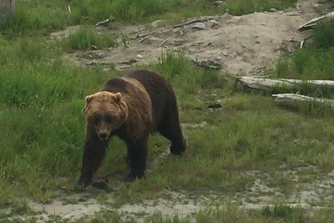 Bear Feeding at the Alaska Wildlife Conservation Center
