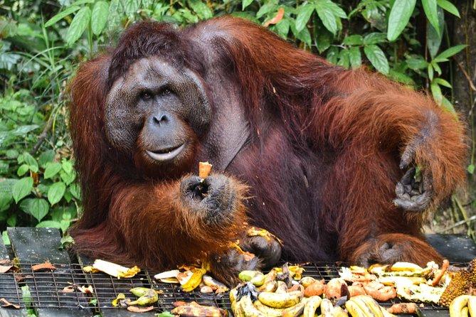 Semenggoh Wildlife Centre (Morning Feeding)