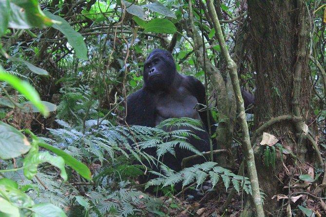 3 Day Uganda gorilla safari from Kigali