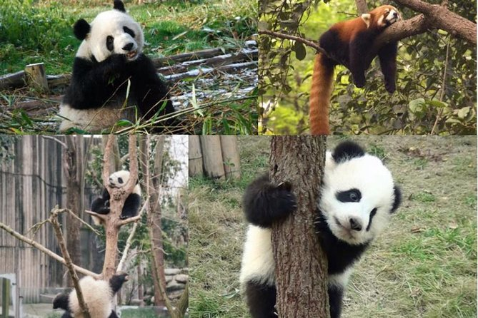 Chengdu Panda Center Morning Private Tour