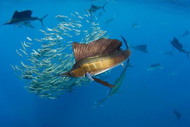 Swim with Sailfish Adventure from Riviera Maya