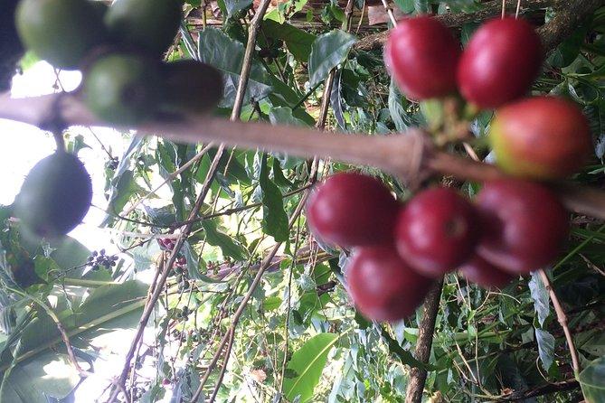 coffee shamba tour, Materuni waterfall & chemka hotsprings