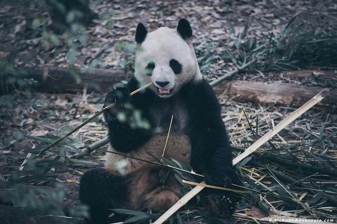 Panda volontariato e alimentazione a Dujiangyan Giant Panda Research Center
