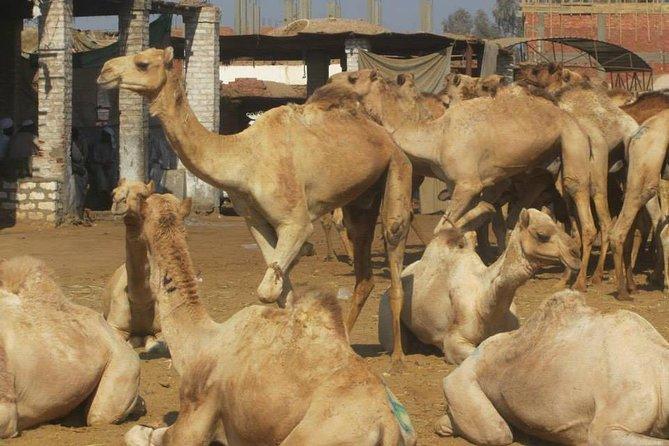 Birqash camels market