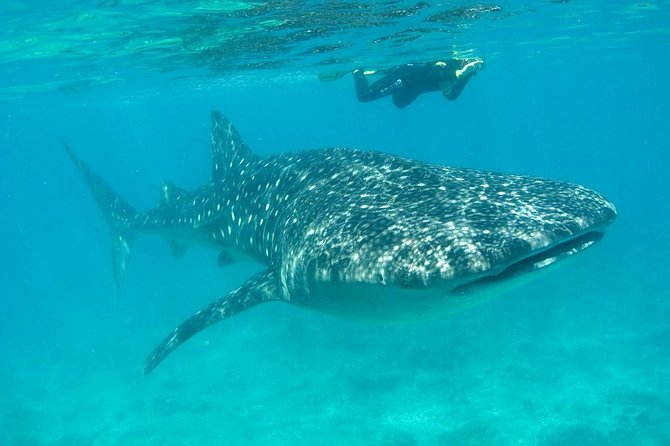 Whale Shark and Snorkeling Adventure from Isla Holbox