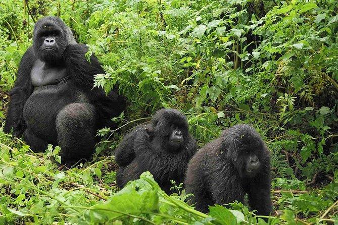 Gorilla tracking flying safari Uganda