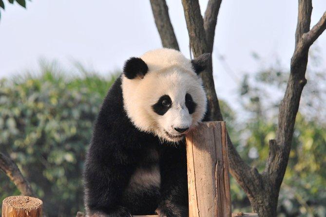 Panda Base Volunteering Program with Tea Hill Walking