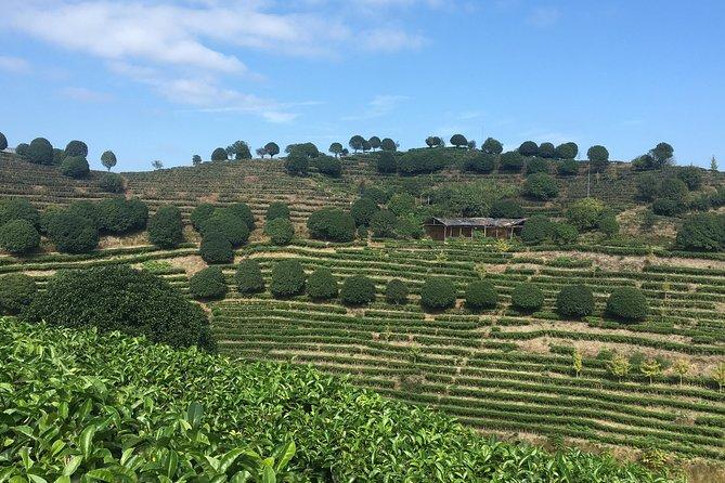 Picking tea and taste tea in yangshuo