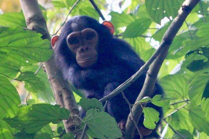chempanzee at nyungwe national park