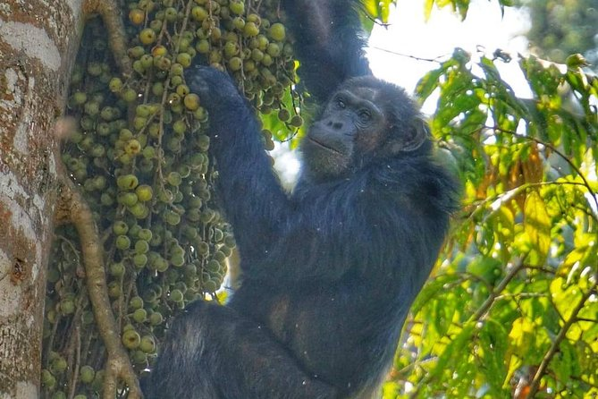 3 Days Rwanda Safari Including Coffee Plantation And Chimpanzee Trekking