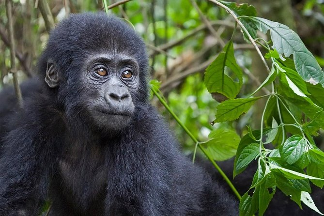 The Ultimate adventure Uganda Gorilla and Chimps, group tour 12 days