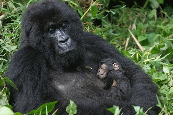 Big Apes and Big Cats Uganda Safari, 12 days 11 nights