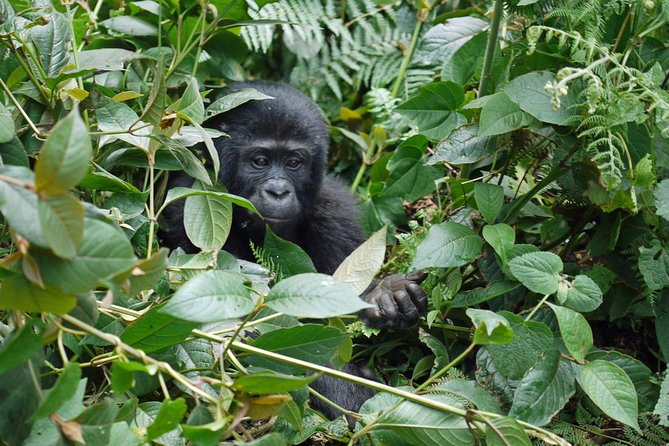 Great Primates Uganda Safari, 7 days 6 nights