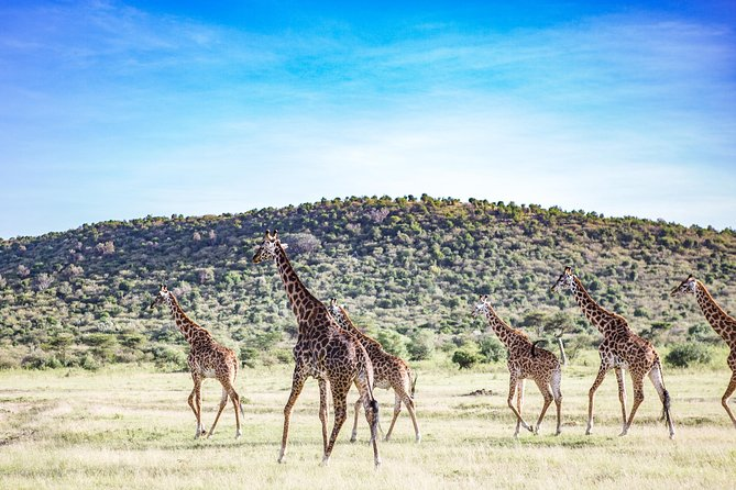 Giraffees in Maasai Mara