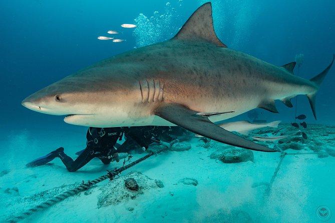 Feeding Bull Sharks from Playa del Carmen