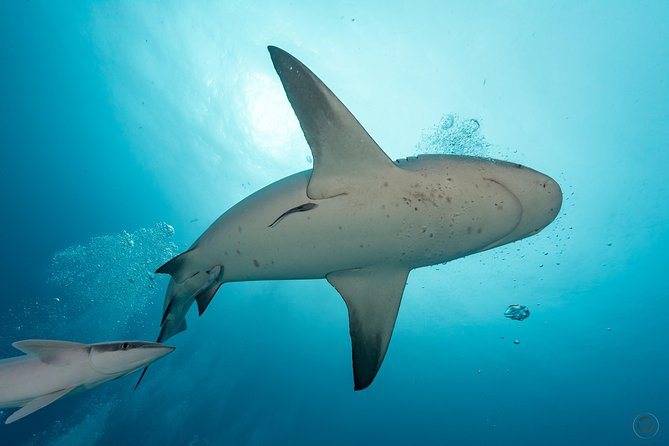 Diving with Bull Sharks from Cancun