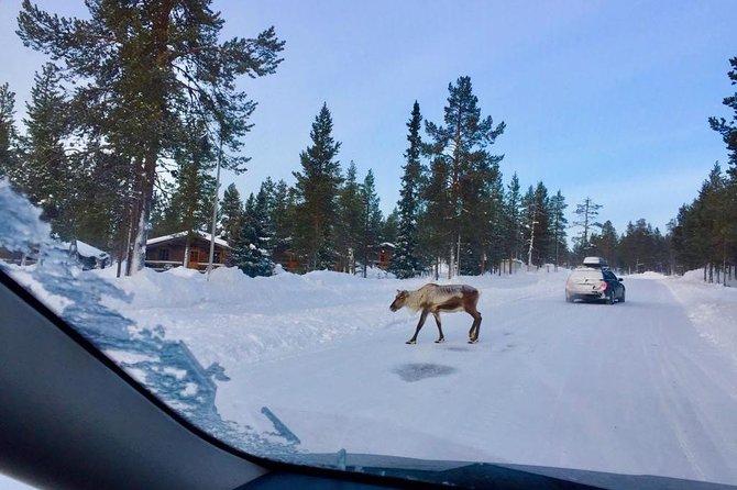 Reindeer walking on the street