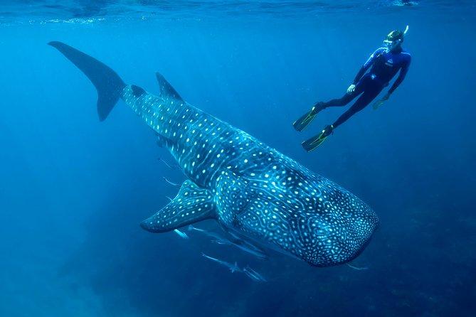 Cancun Whale Shark Encounter