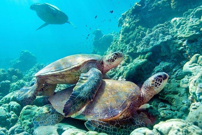 Maui Turtle Snorkeling Tour from Ma'alaea Harbor