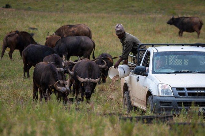 Cape Buffalo Experience from Port Elizabeth