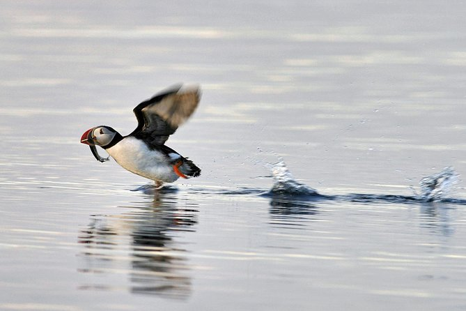 Iceland Super Saver: Puffin Cruise plus Whale-Watching Tour from Reykjavik