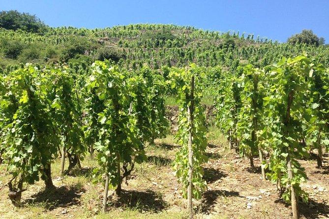 Syrah vineyards - Cote du Rhone