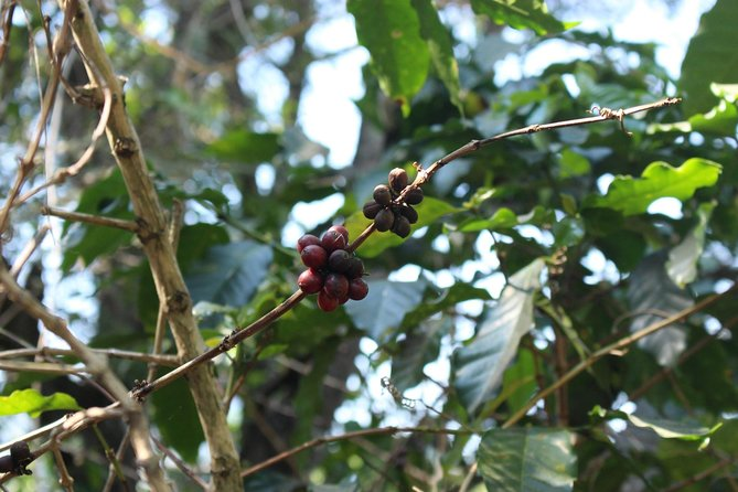 Coffee Tree & Berry (Mae Klang Luang Village), Doi Inthanon, Chiang Mai
