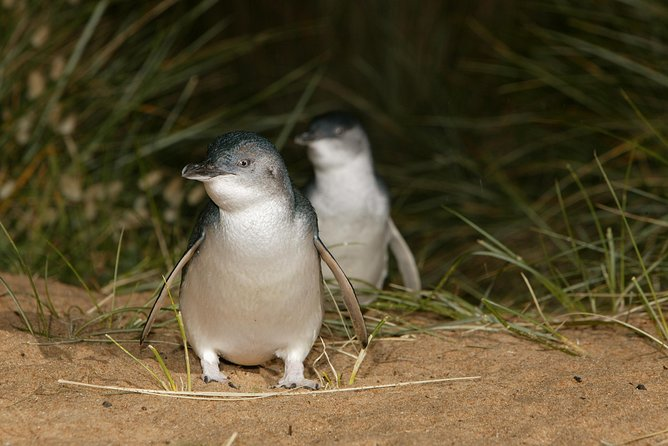Boutique Journey to Phillip Island with Penguin Parade in stylish Mercedes-Benz photo 9