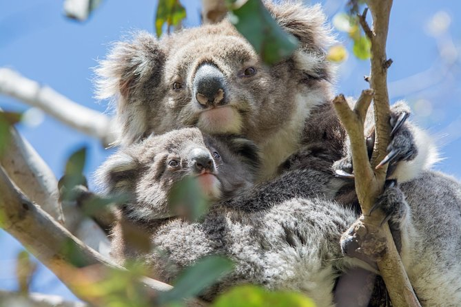 A Koala and her baby watching from a tree along the Great Ocean Road.