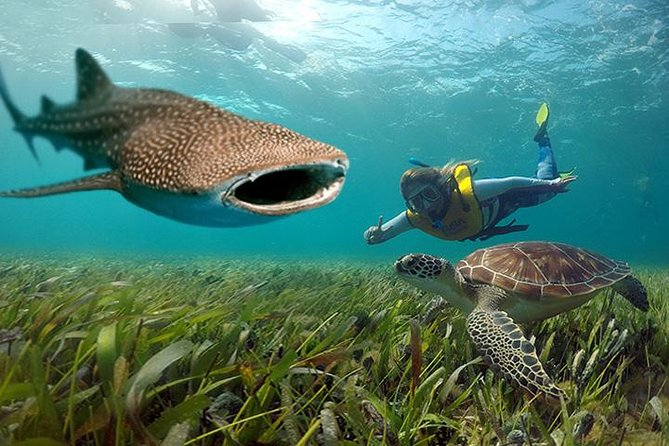 Whale shark and sea turtle swimming in Cancun