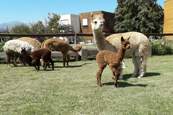 Private Full-Day Chilean Treasures Nature Tour: Alpacas and Penguins