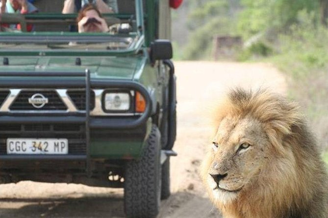 Kruger Park Safari lion up close