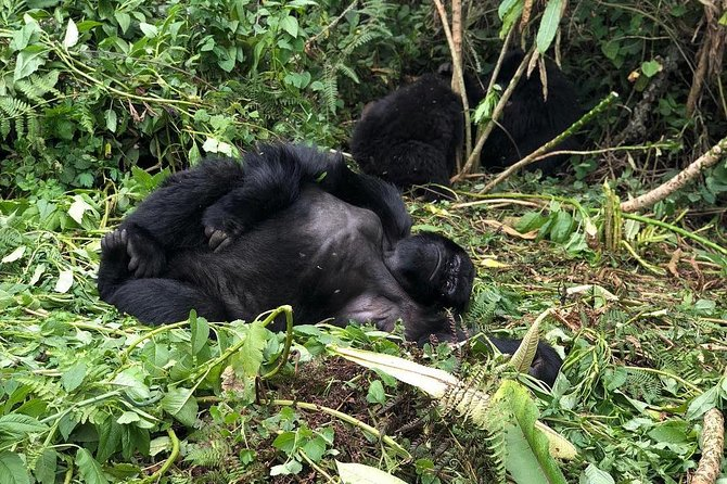 4 Days Mountain gorilla tour photo 11