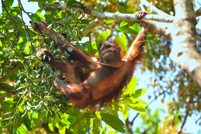 SANDAKAN WILDLIFE Orang Utan, Proboscis Monkey, Sunbear SANCTUARIES photo 4