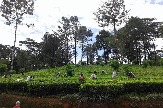 Nuwara Eliya Day Tour - Hill Country Tea Plantation Tour