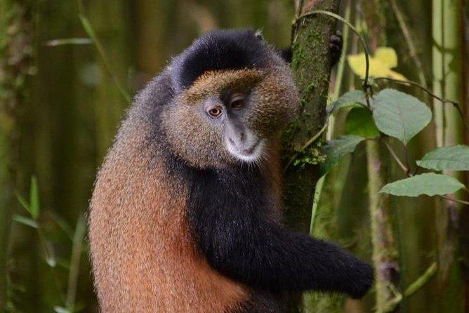 1 Day Rwanda Golden Monkey Tracking Tour