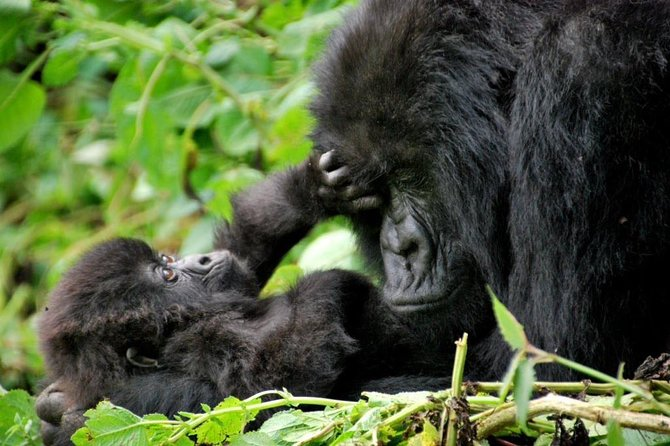 2 Day Gorilla Trekking at Bwindi National Park in Uganda