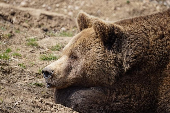 Libearty Bear Sanctuary and Bran Castle in One Day Private Tour from Bucharest