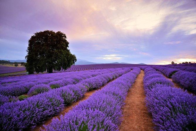 Bridestowe Lavender Farm Tour